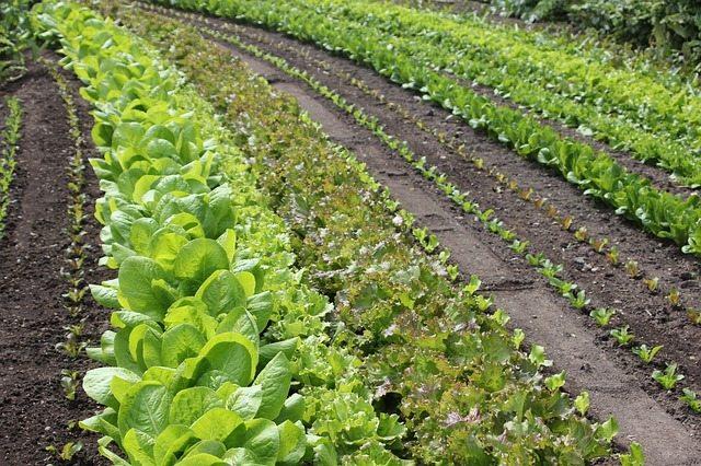 salad, rows, discount