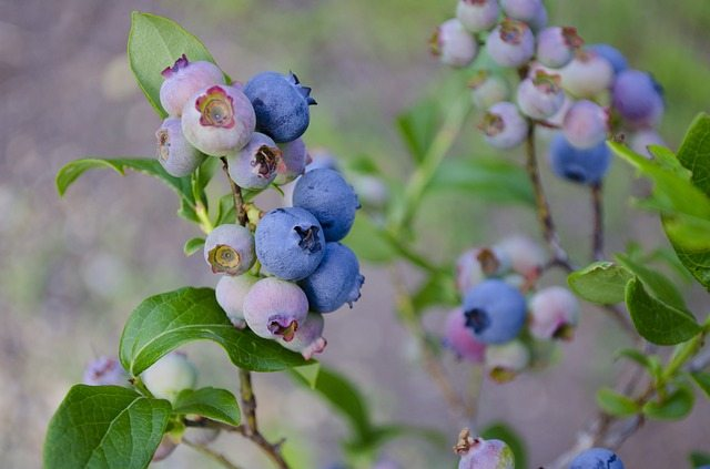 blueberries, blueberry bush, blueberry